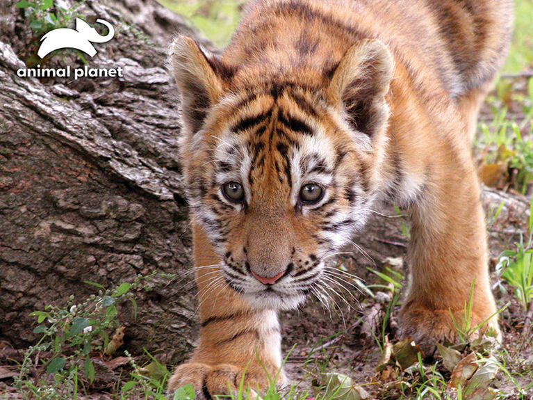 Animal Planet - Tiger – 63 Piece 3D Puzzle - R Exclusive