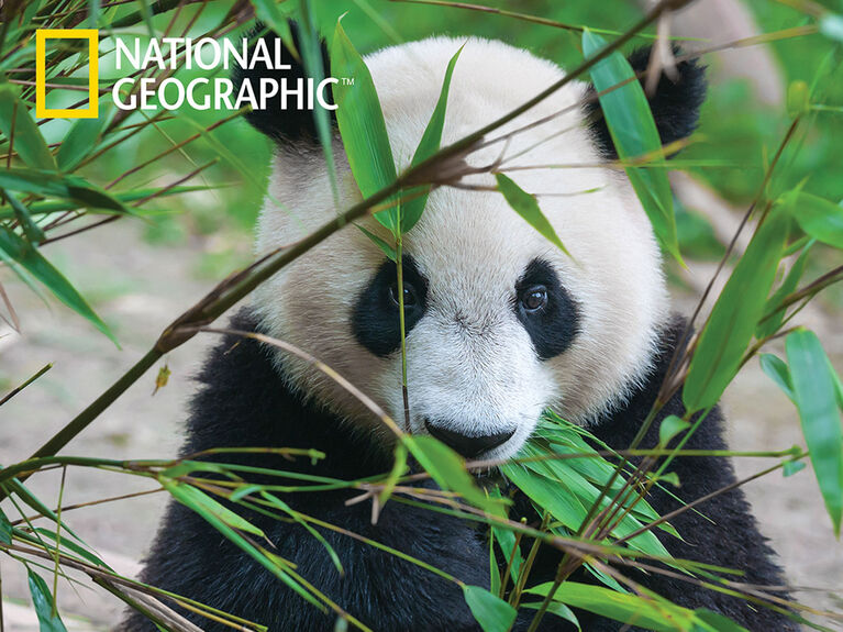 National Geographic Giant Panda 500 pc Casse-Tête Super 3D